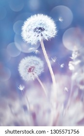 White dandelions in the field. Image in delicate pastel blue and pink colors. Natural spring and summer background.