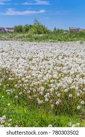 White dandelions in a meadow. Nature in the vicinity of Pruzhany. Brest region.