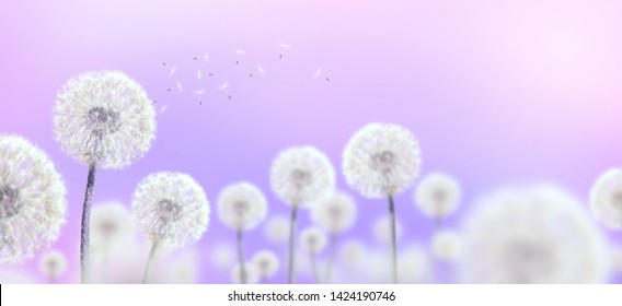 white dandelions on mauve background, wide view