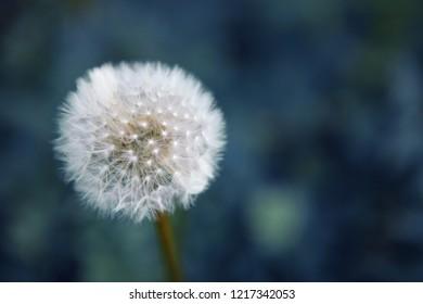White Dandellion - Taraxacum Officinale