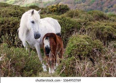 White Dartmoor pony and brown foal on Dartmoor