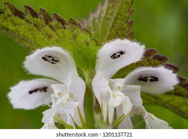 White Dead-nettle (Lamium album) - macro (close up) photo. Taken in Ireland