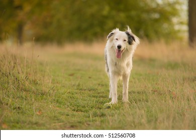 White Deaf Border Collie Plays outdoors with Ball in Long Meadow Grass Field