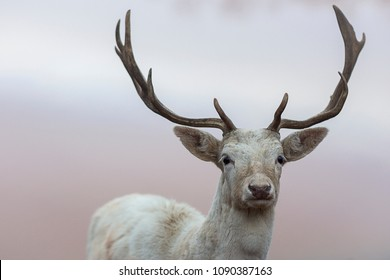 White dear with antlers bokeh
