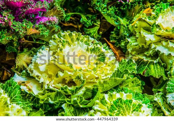 White decorative cabbage with dew, Thailand