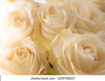 white delicate and beautiful tender roses, soft focus. Women's holiday. 8th march. Celebration. Gift