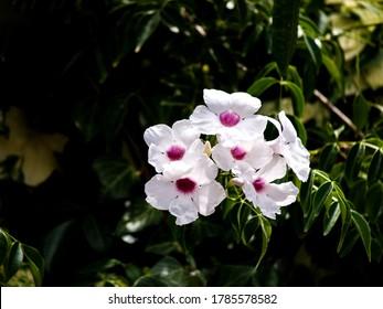 white delicate bignonia on the branch at garden