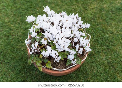 white delicate cyclamen flowers potted in a tub on grass