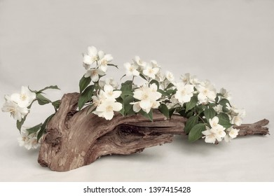White and Delicate Flowers of Philadelphia Virginal, Also Known as Mock Orange Softly Laid Down on an Old Piece of Wood in Semi Monochromatic Colors