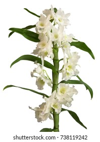 White dendrobium nobile orchid flowers isolated on white background