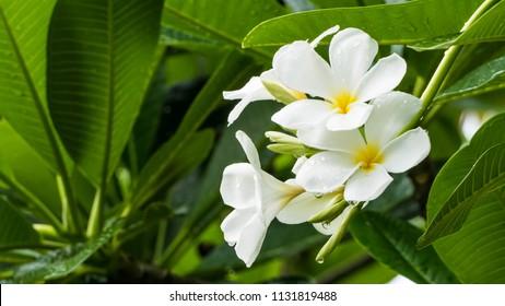 White Desert Rose in nature front garden