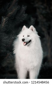 white dog breed Samoyed dog in a dark forest