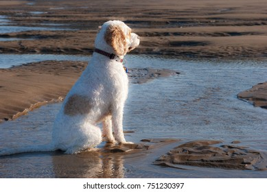 White dog with brown spots gazing off into the sunrise while sitting in the water at the beach