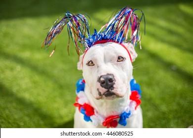 White dog celebrates Fourth of July summer holiday