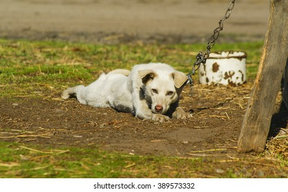 white dog with chain lying on the ground near the wooden hut