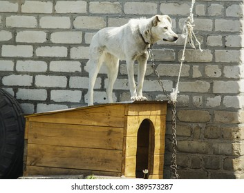 white dog with chain is on a wooden hut on the background of a white brick wall