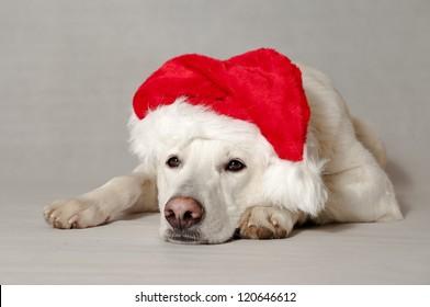 white dog christmas White Swiss Shepherd