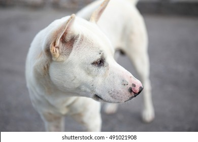 white dog close up (thai dog)