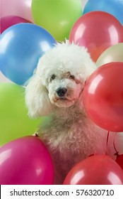 White dog with colorful balloons