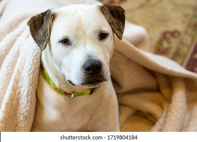 White dog covered by a tan blanket