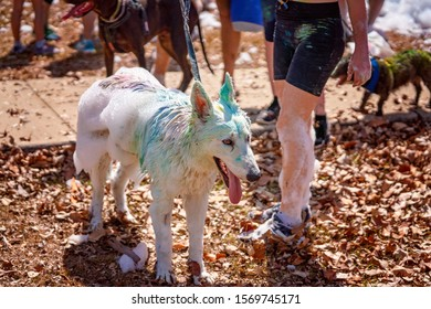 A white dog covered in coloured powder and soap bubbles on a fun run in an outdoor public park