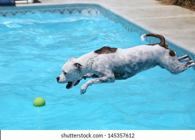 White dog diving into the water of the pool for her ball