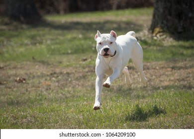 White dog (Dogo Argentino) running
