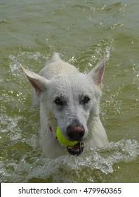 White Dog Fetching Close up