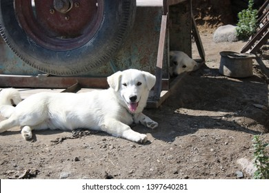 White dog in front and white dog under the iron box. Dog's tongue outside. The weather is warm and sunny
