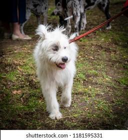 white dog half-breed Ardennes Bouvier, summer day