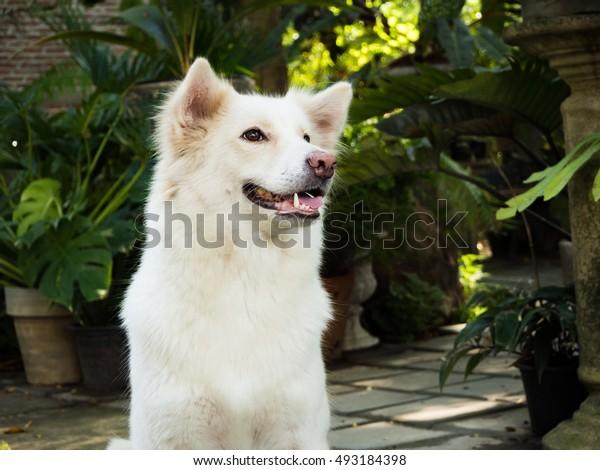 white dog have a big smile in the garden, Thai dog