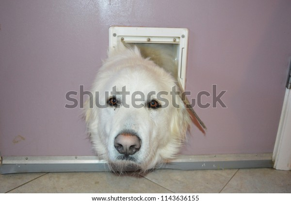 Surprising White Dog His Face On Small Royalty Free Stock Image Schematic Wiring Diagrams Amerangerunnerswayorg