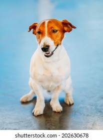 White Dog jack russel terrier on blue floor indoors