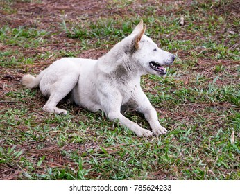 A white dog is laying on the grass.
