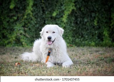 white dog lies on the grass