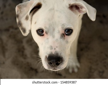 A white dog looking up
