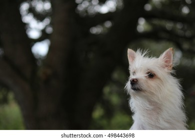A white dog looking.