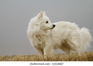 white dog looking to rear
