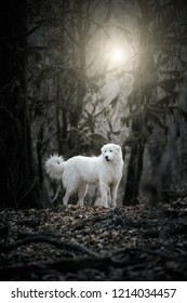 White dog Maremma or Abruzzi, on a dark background