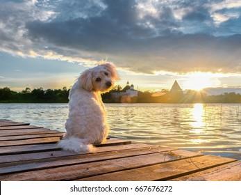 White dog on the banks of the Volkhov river meets the sunset. Staraya Ladoga. Leningrad oblast. Russia.