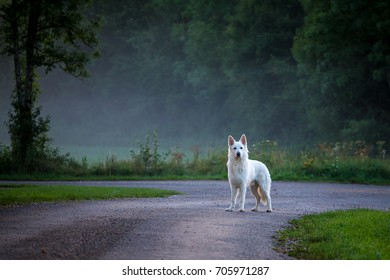 a white dog on a country road with mist, like a ghost