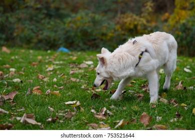 white dog on grass playing