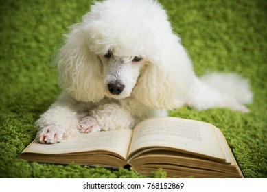 A white dog on a green carpet reads the book