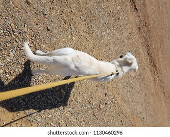 white dog on a leash