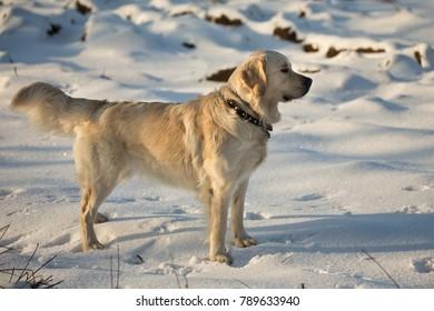 White dog on the snow.