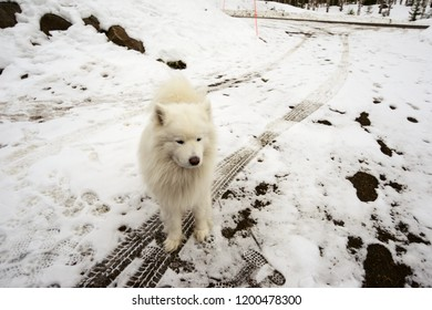 white dog on a snowy road, car tracks and footprints, deadpan photo