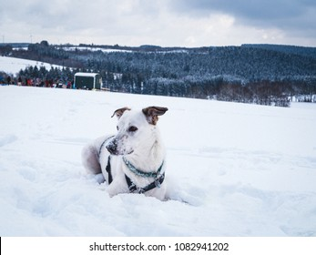 White Dog Playing in the snow
