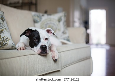 White dog rests on couch at home