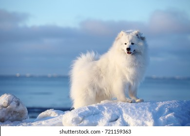 White dog samoyed on the winter beach in the snow, winter north arctic
