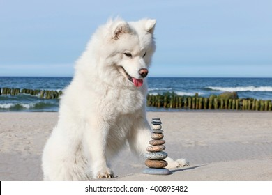 White dog Samoyed and rocks zen on the beach